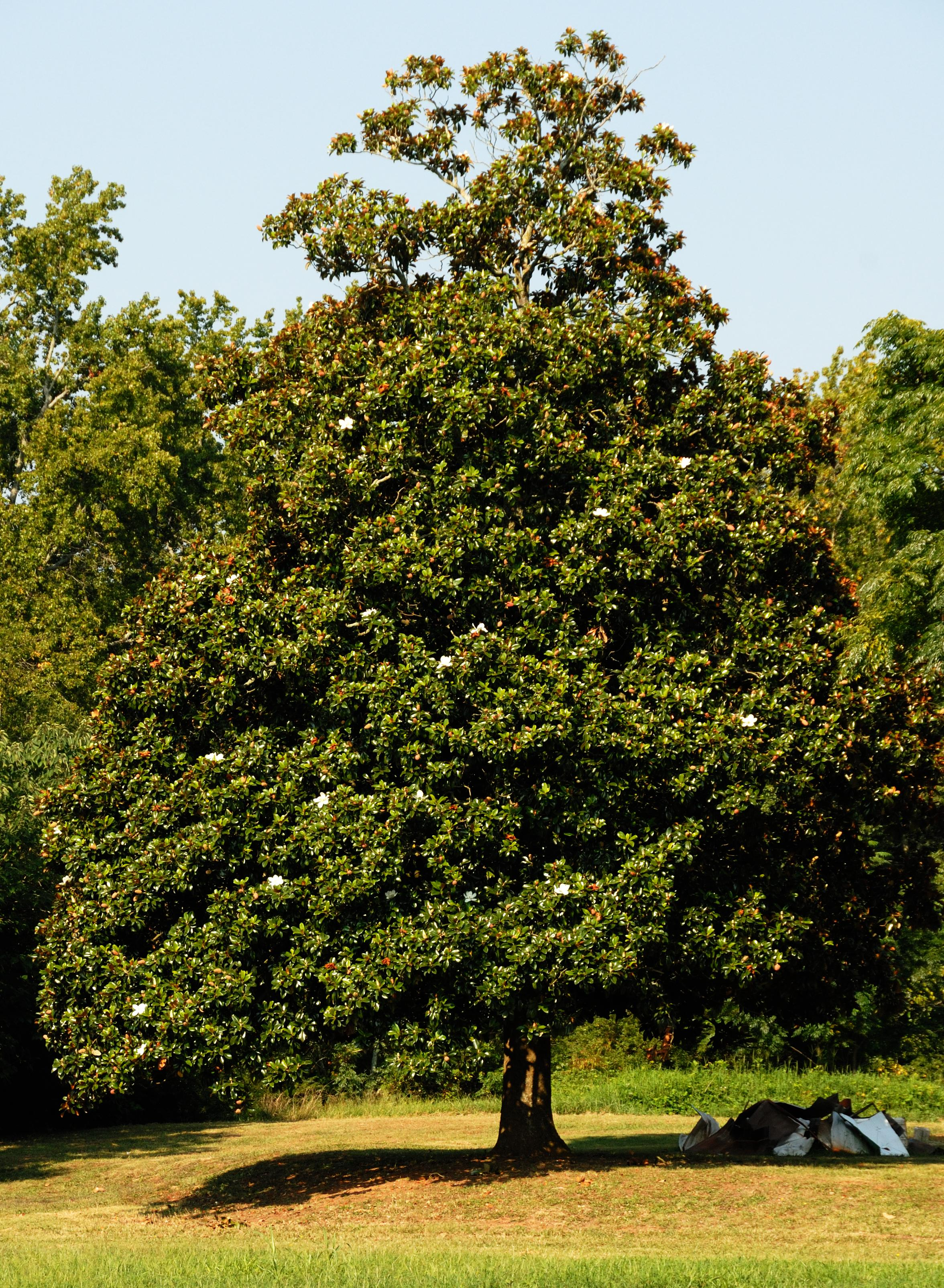 A summer retrospective southern magnolia later living for Magnolia tree