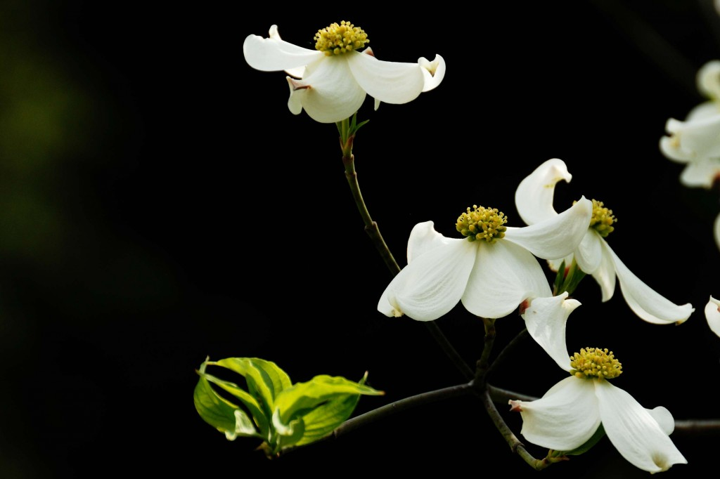 Dogwoods in Georgia